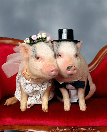 PIG 01 RK0104 05 © Kimball Stock Pig Bride And Groom Sitting On Couch