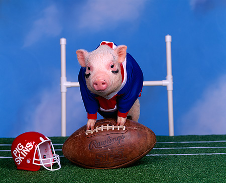 PIG 01 RK0111 09 © Kimball Stock Pigskin Football Pig Leaning On Football On Field
