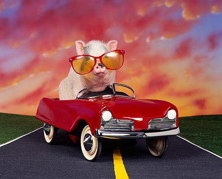 PIG 01 RK0129 02 © Kimball Stock Road Hog Pig Wearing Big Sunglasses In Red Car On Road