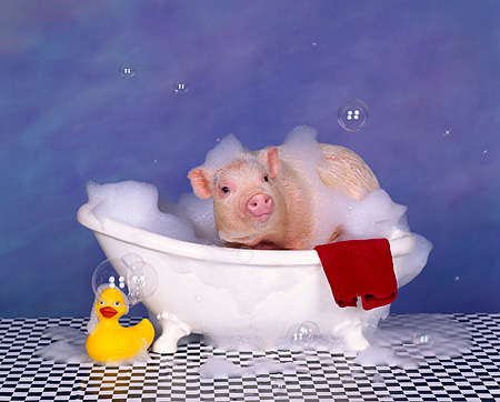 PIG 01 RK0133 25 © Kimball Stock Hog Wash 2