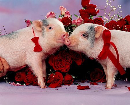 PIG 01 RK0146 08 © Kimball Stock Hogs And Kisses