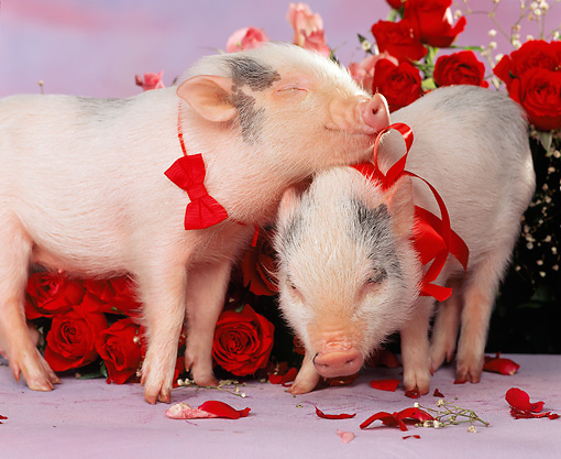 PIG 01 RK0146 21 © Kimball Stock Hogs And Kisses