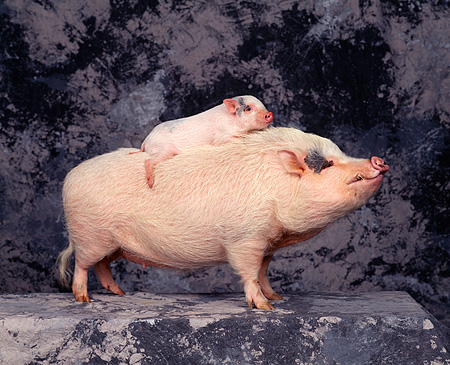 PIG 01 RK0161 09 © Kimball Stock Piglet Riding Piggyback On Boar Gray Marble Background