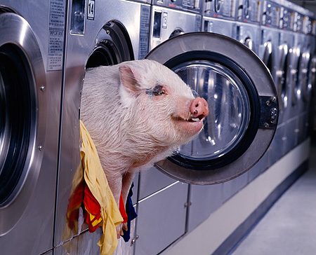 PIG 01 RK0168 29 © Kimball Stock Hog Wash: Head Shot Of Vietnamese Pot-Bellied Pig In Washing Machine