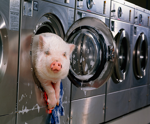 PIG 01 RK0168 32 © Kimball Stock Hog Wash: Head Shot Of Vietnamese Pot-Bellied Pig In Washing Machine