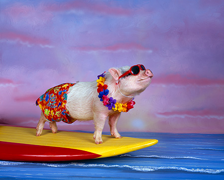 PIG 01 RK0194 01 © Kimball Stock Hang Four Pig Surfing