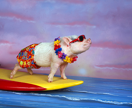 PIG 01 RK0194 03 © Kimball Stock Hang Four Pig Surfing