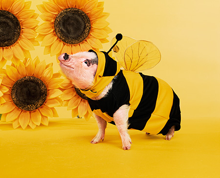 PIG 01 RK0195 02 © Kimball Stock Bumble Pig In Bee Outfit By Sunflowers Studio