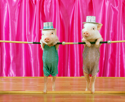 PIG 01 RK0198 14 © Kimball Stock Two Pigs In Costume Dancing On Stage With Pink Curtain