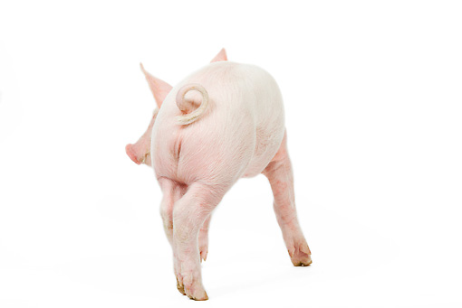 PIG 02 JE0002 01 © Kimball Stock Back View Of Piglet Standing On White Seamless