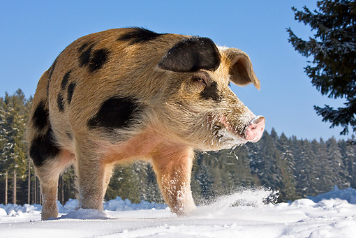 PIG 02 KH0013 01 © Kimball Stock Low Angle Shot Of Pig Standing On Snow
