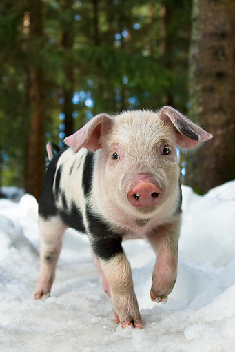 PIG 02 KH0016 01 © Kimball Stock Portrait Of Piglet Walking In Snow