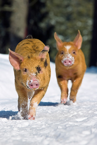 PIG 02 KH0021 01 © Kimball Stock Portrait Of Two Piglets Running Through Snow