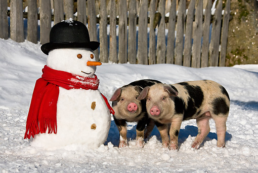 PIG 02 KH0023 01 © Kimball Stock Two Piglets Standing In Snow By Snowman