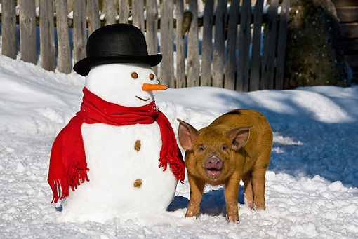 PIG 02 KH0024 01 © Kimball Stock Piglet Standing In Snow By Snowman