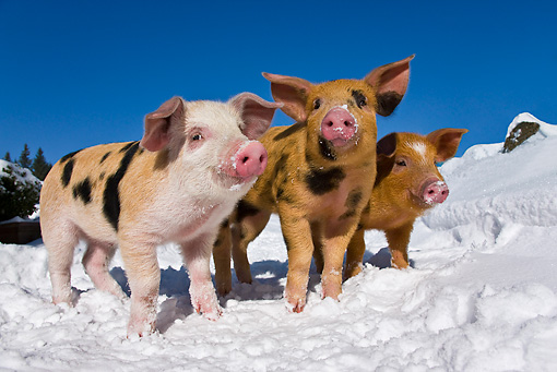 PIG 02 KH0025 01 © Kimball Stock Three Piglets Standing In Snow