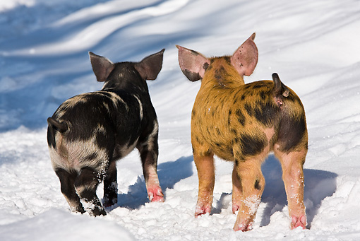 PIG 02 KH0027 01 © Kimball Stock Back View Of Two Piglets Standing In Snow