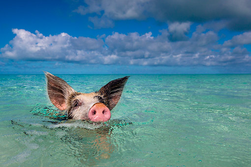PIG 02 KH0039 01 © Kimball Stock Piglet Paddling Through Tropical Water At