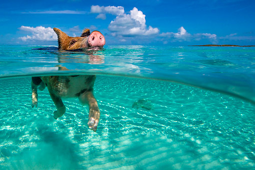 PIG 02 KH0041 01 © Kimball Stock Piglet Going For A Swim At