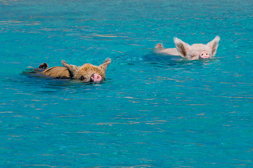 PIG 02 KH0042 01 © Kimball Stock Pair Of Sows Swimming Swiftly In Tropical Water At