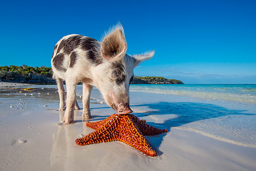 PIG 02 KH0043 01 © Kimball Stock Piglet Inspecting Starfish On Tropical Beach --