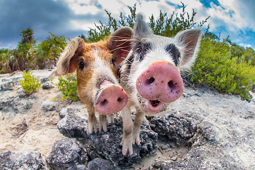 PIG 02 KH0046 01 © Kimball Stock Two Piglets Saying Hello On Tropical Beach --