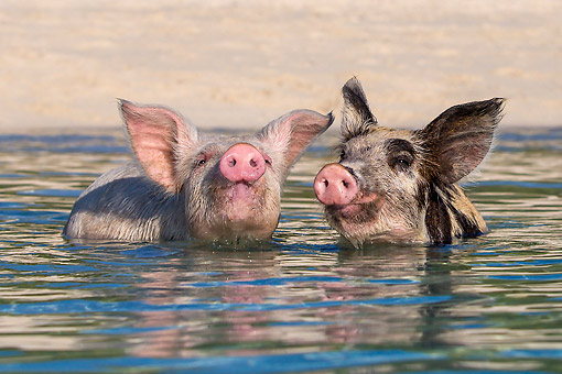 PIG 02 KH0047 01 © Kimball Stock Two Piglets Playing Around At