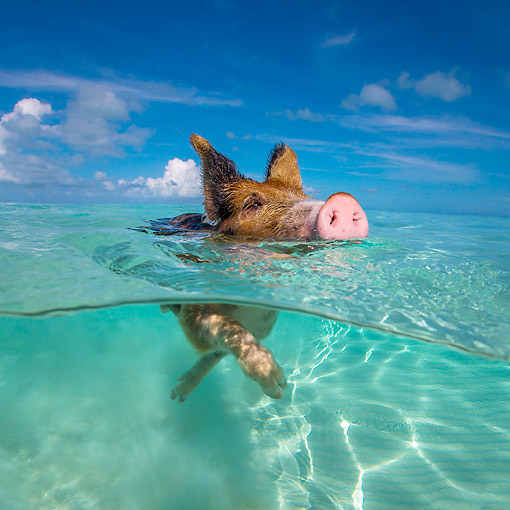 PIG 02 KH0049 01 © Kimball Stock Piglet Paddling Through Tropical Water At