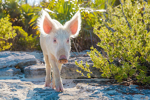PIG 02 KH0050 01 © Kimball Stock Piglet Strolling On Tropical Island Beach --