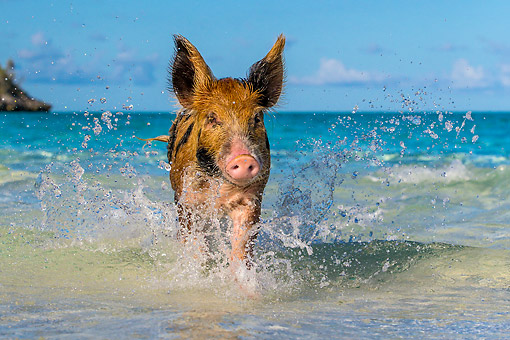PIG 02 KH0051 01 © Kimball Stock Piglet Splashing In Tropical Ocean Waves At