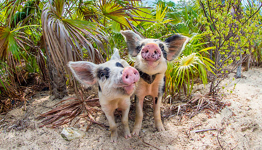 PIG 02 KH0052 01 © Kimball Stock Two Piglets Smiling On Tropical Beach --