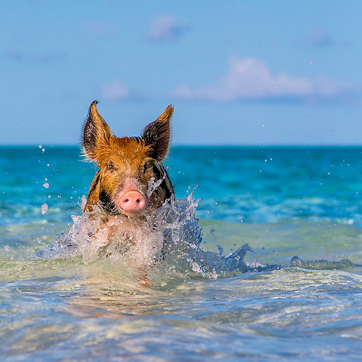 PIG 02 KH0054 01 © Kimball Stock Piglet Splashing In The Ocean Surf At