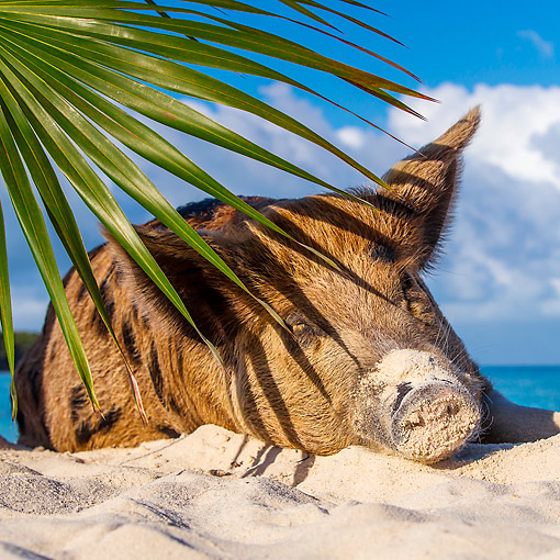 PIG 02 KH0057 01 © Kimball Stock Lazy Pig Under Palm Tree At