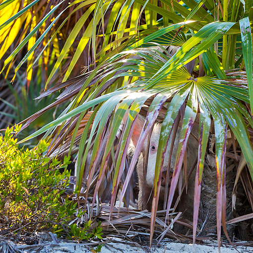 PIG 02 KH0058 01 © Kimball Stock Piglet Sneeking Under Palms At