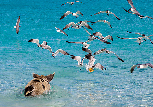 PIG 02 KH0061 01 © Kimball Stock Big Pig Chasing Laughing Gulls In Ocean -- At