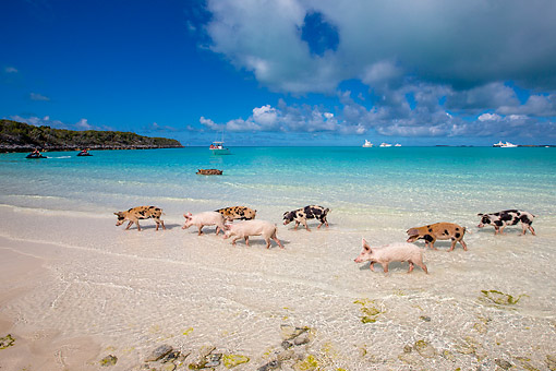 PIG 02 KH0062 01 © Kimball Stock Eight Pigs Parading On Seashore -- At