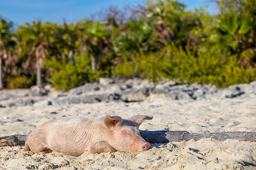 PIG 02 KH0064 01 © Kimball Stock Pig Dreaming On Tropical Island Beach --