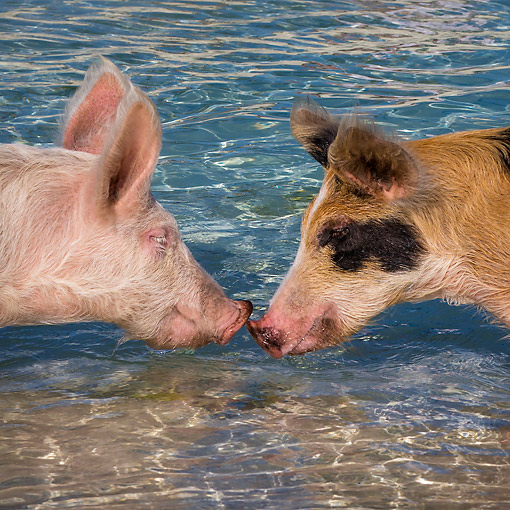 PIG 02 KH0065 01 © Kimball Stock Two Pigs Kissing In Tropical Water --
