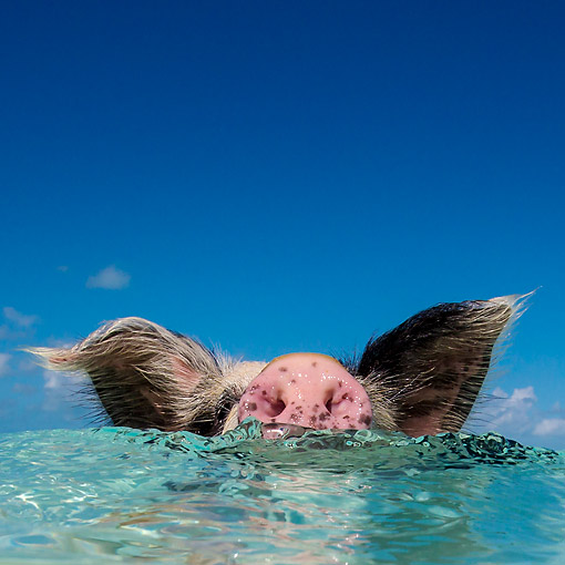 PIG 02 KH0066 01 © Kimball Stock Pig Floating On Ocean Suface --