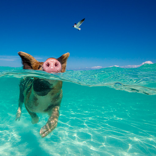 PIG 02 KH0067 01 © Kimball Stock Pig Paddling In Tropical Water --