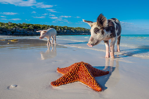 PIG 02 KH0068 01 © Kimball Stock Two Pigs Searching For Starfish On Tropical Island Beach --