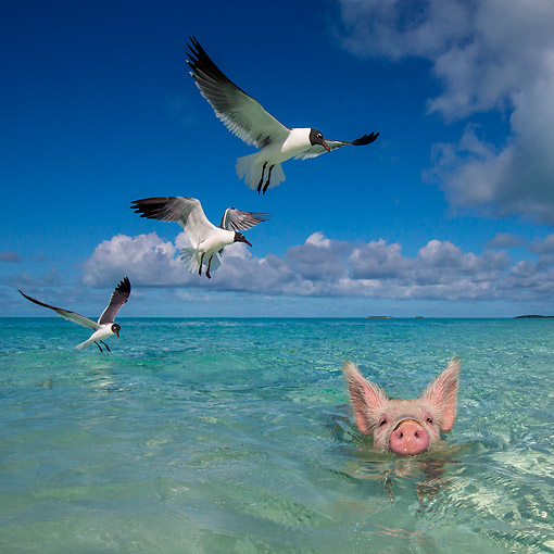 PIG 02 KH0069 01 © Kimball Stock Seabirds Toying With Sleepy Pig In Tropical Water --