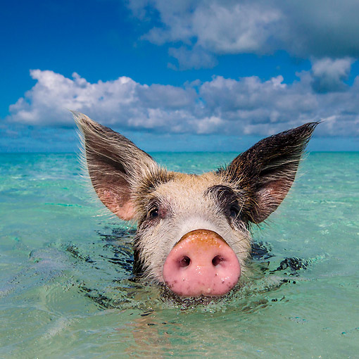 PIG 02 KH0070 01 © Kimball Stock Piglet Exploring In Tropical Ocean At