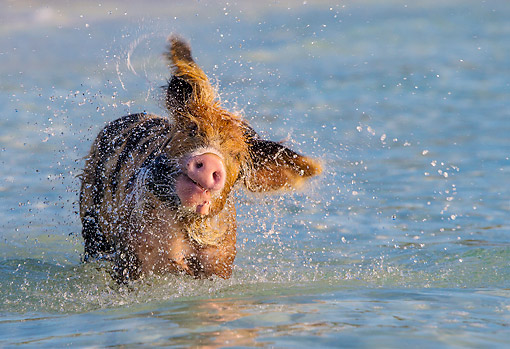PIG 02 KH0072 01 © Kimball Stock Pig Splish-Splashing In Ocean Waters --