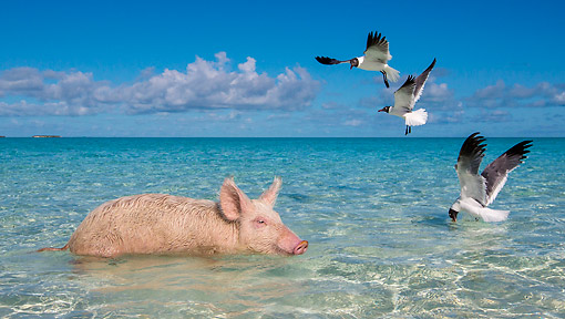 PIG 02 KH0073 01 © Kimball Stock Old Pink Pig Playing With Seabirds In Tropical Ocean --
