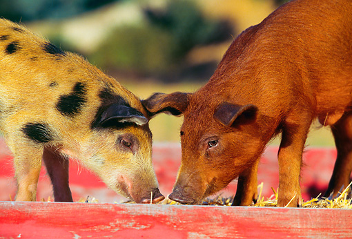 PIG 02 RK0013 07 © Kimball Stock Spotted Mixed-Breed And Duroc Pigs Standing In Red Box With Hay