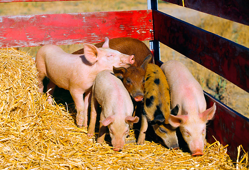 PIG 02 RK0035 04 © Kimball Stock Yorkshire Duroc And Mixed Pigs Eating Hay