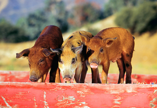 PIG 02 RK0036 08 © Kimball Stock Two Duroc And Spotted Pigs Standing In Red Box