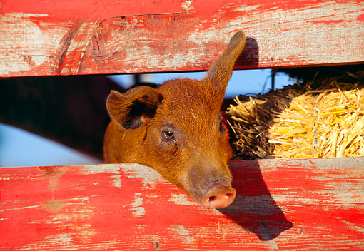 PIG 02 RK0037 02 © Kimball Stock Head Shot Of Duroc Pig Peeking Through Fence With Hay