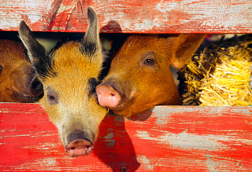 PIG 02 RK0045 07 © Kimball Stock Two Duroc And Mixed Pigs Peeking Through Fence